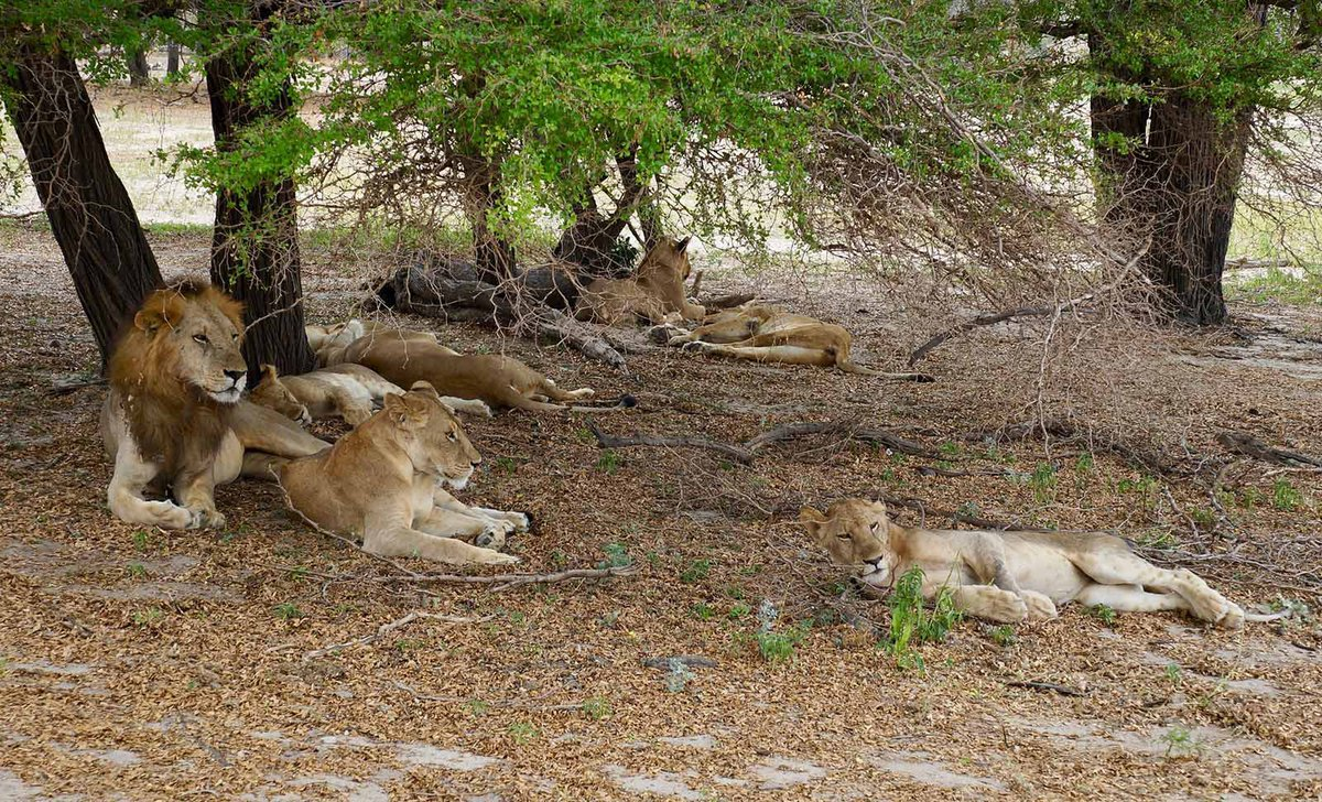 Lions in the Selous.