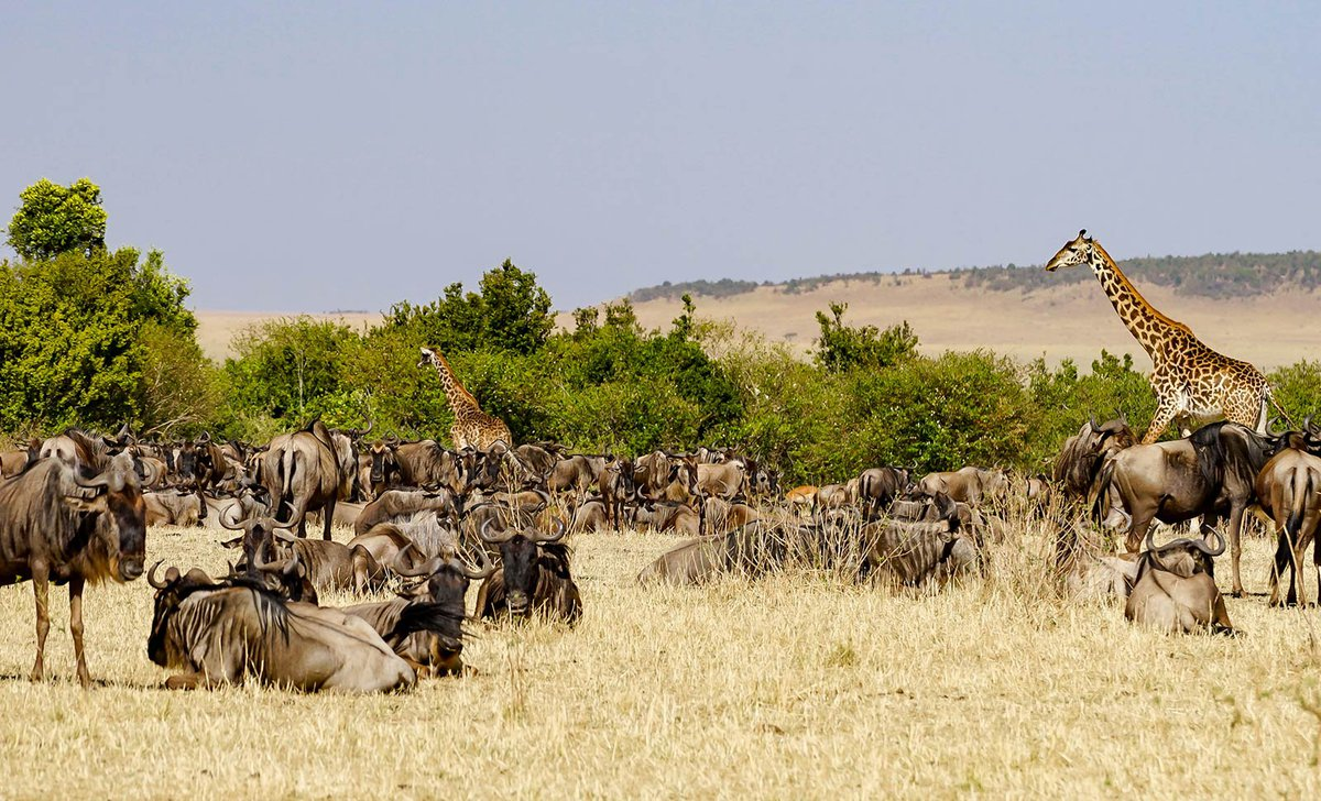 Wildebeest herd and giraffes Masai mara