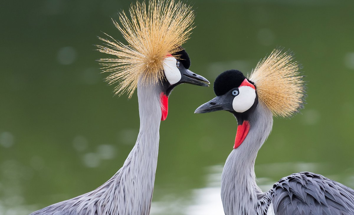 Pair of crested cranes up close