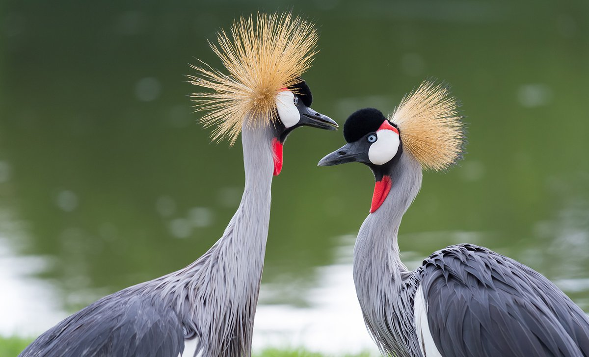 pair-of-crested-cranes-ss-03473.jpg