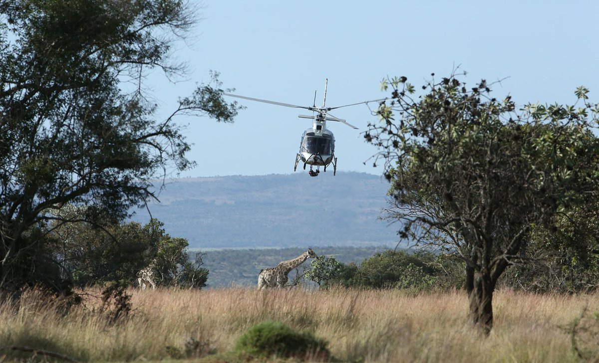 Helicopter over giraffe on Leobo Private Reserve