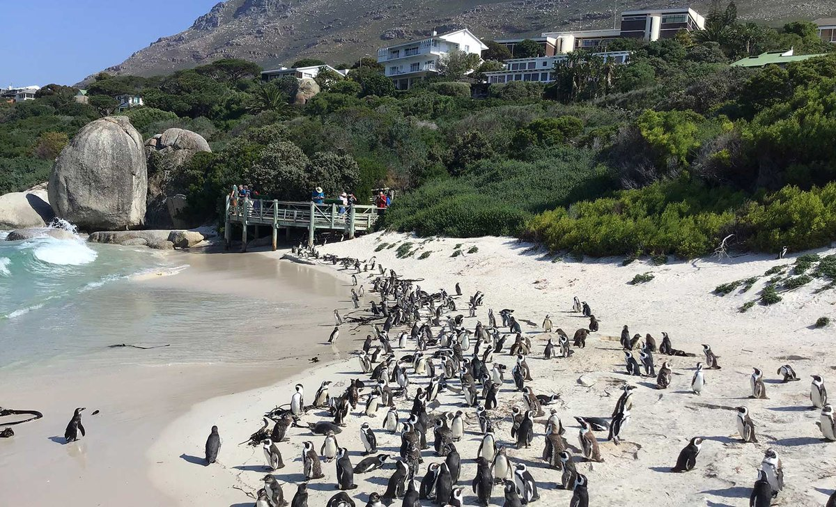 Colony of Africa penguin on shore at Boulders Beach
