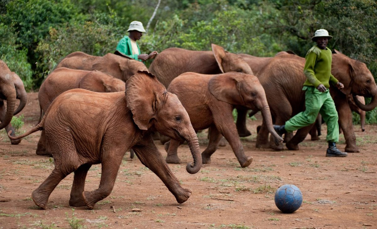 Elephant calves playing football at Daphne Sheldrick Elephant Orphanage