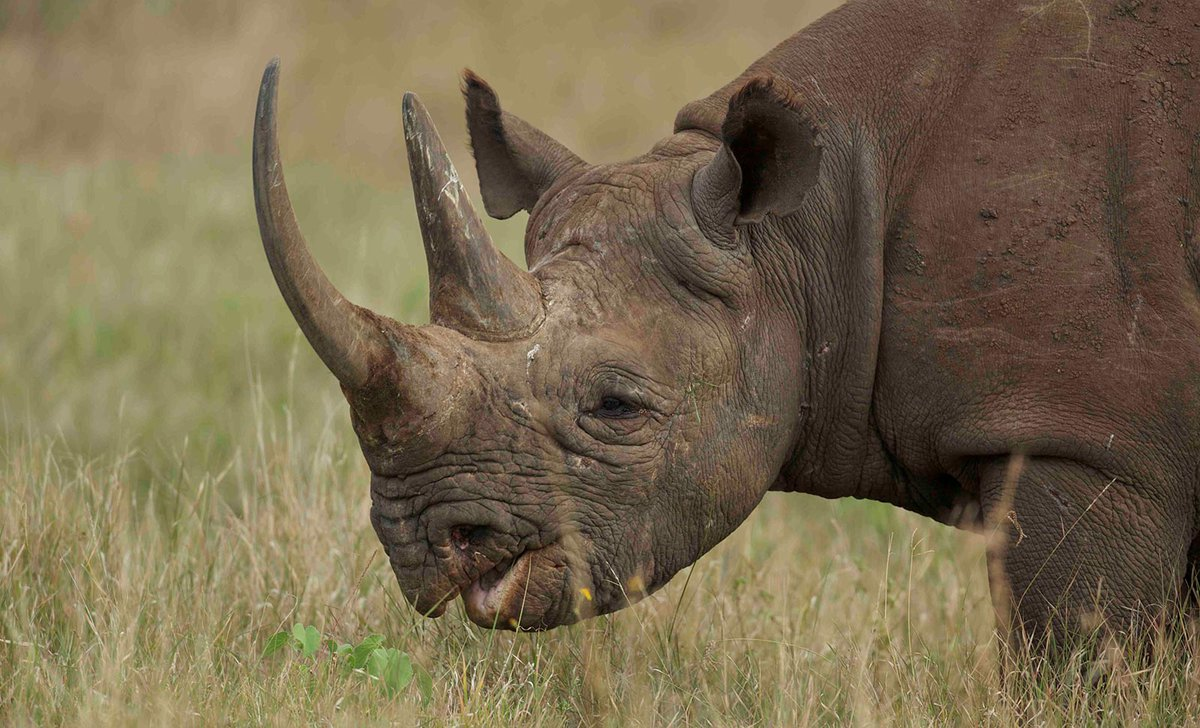 Close up of black rhino eating grass