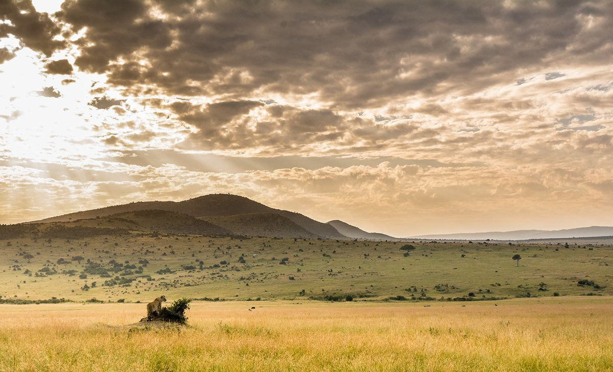 Lone lion on vast Mara plains