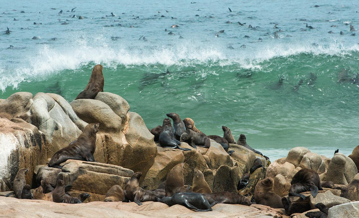 Fur seal colony on Skeleton Coast in Namibia