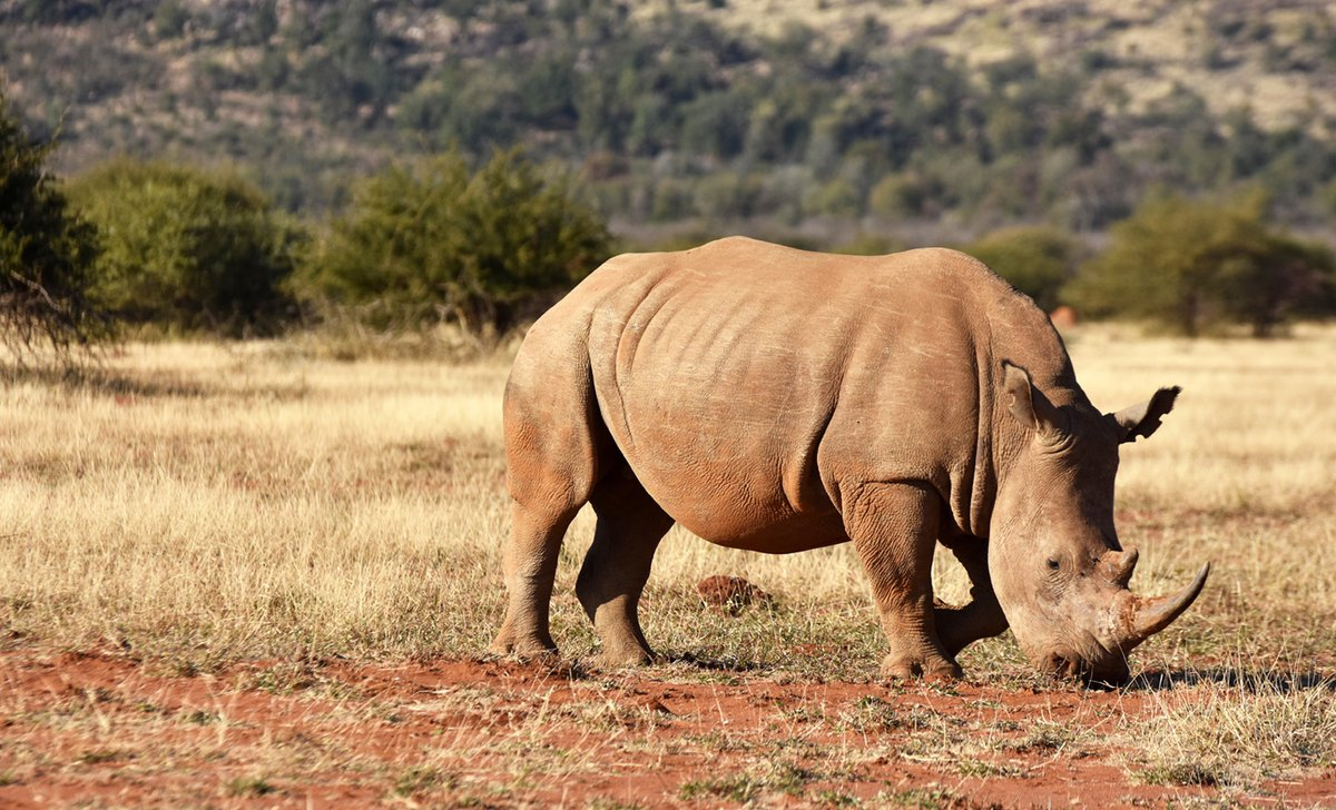 south-africa-malaria-free-para-2-spot-rhino-in-the-madikwe-game-reserve-on-a-malaria-free-safari-resized-26357.jpg
