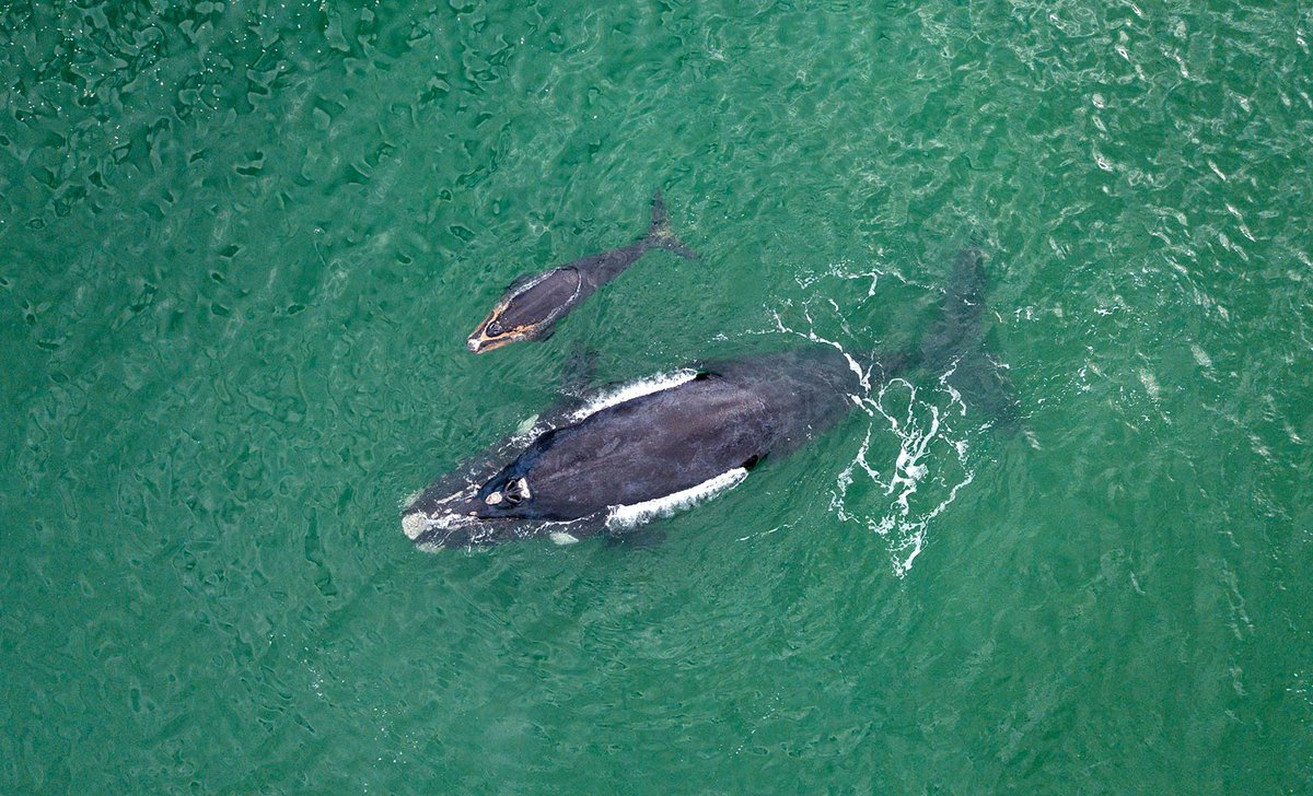 southern-right-whale-and-calf-istock-1030158124-by-nattrass-67287.jpg