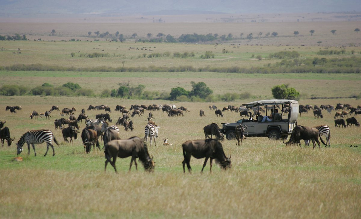 Game drive through zebra and wildebeest on great migration