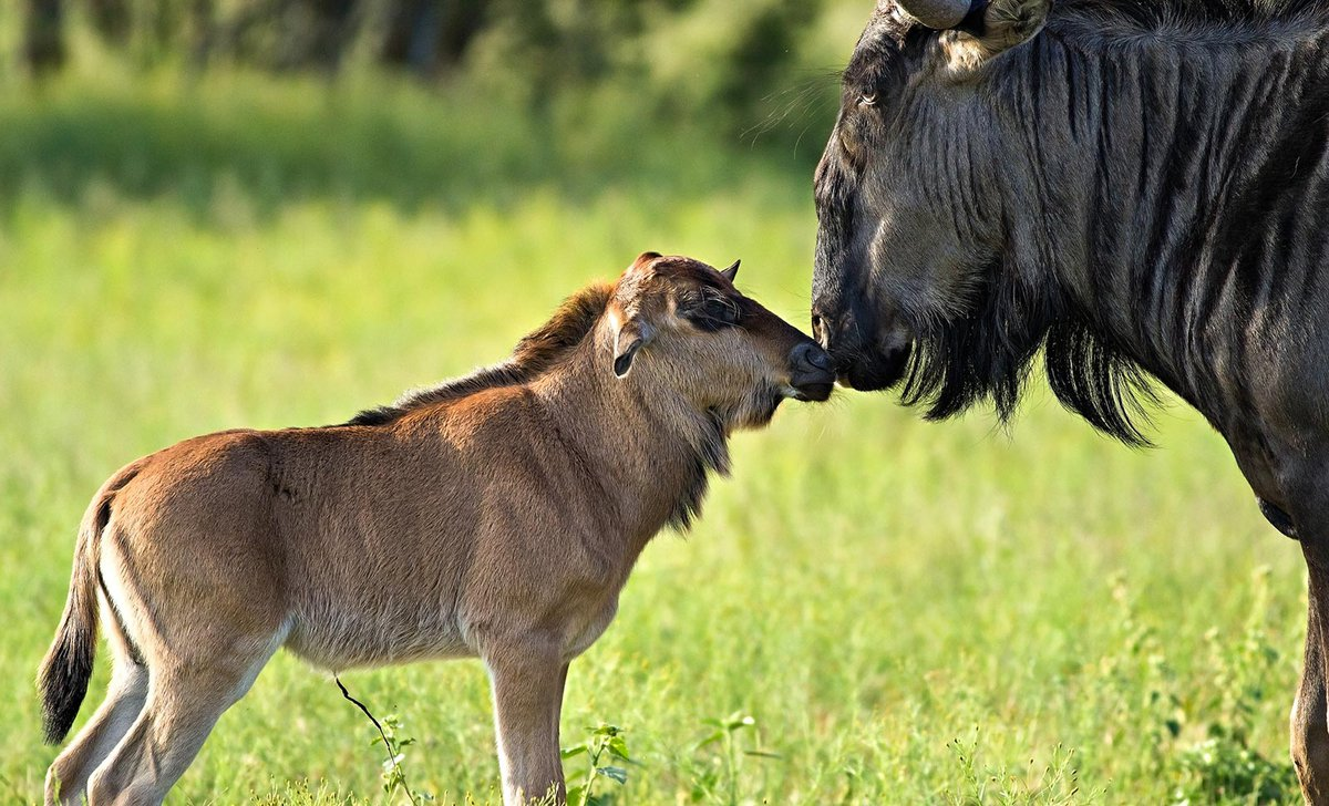wildebeest-calf-and-mother-ss-77785.jpg