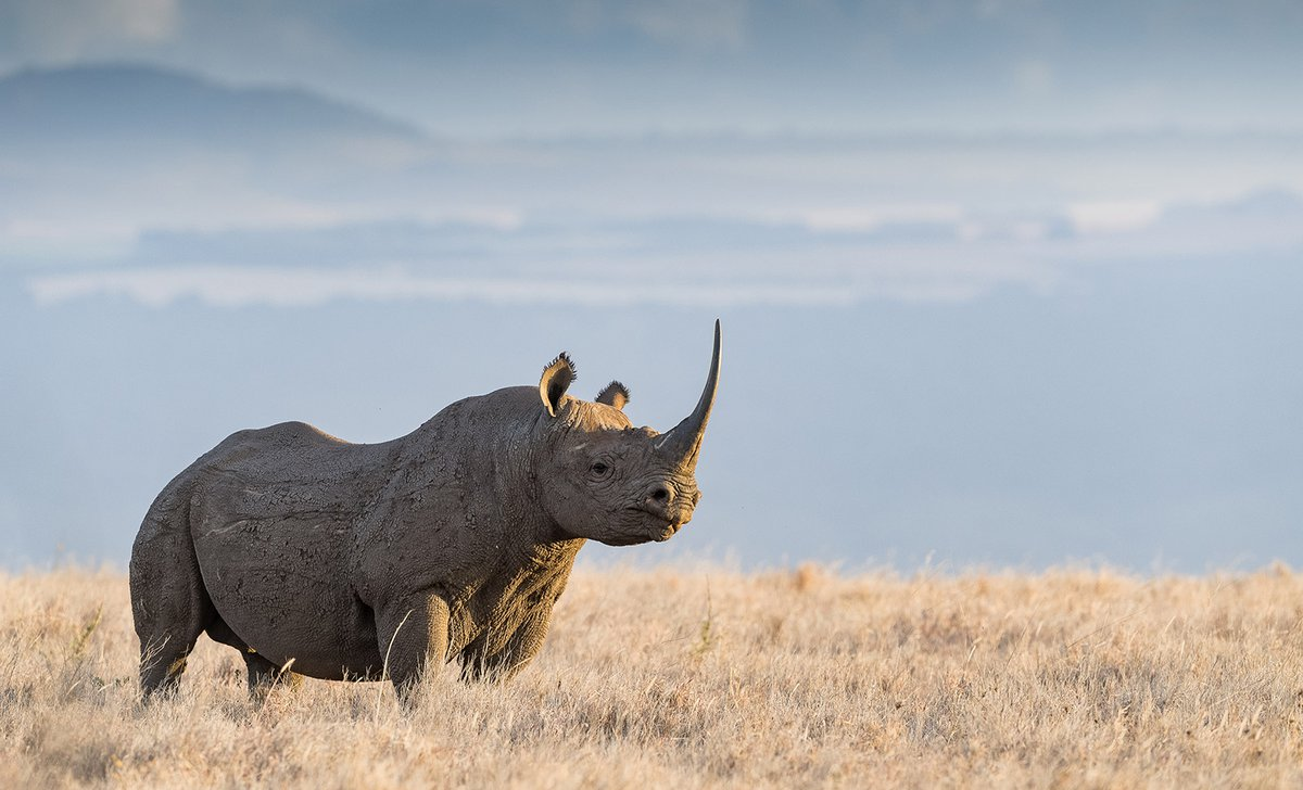 Lone black rhino in Lewa Wildlife Conservancy