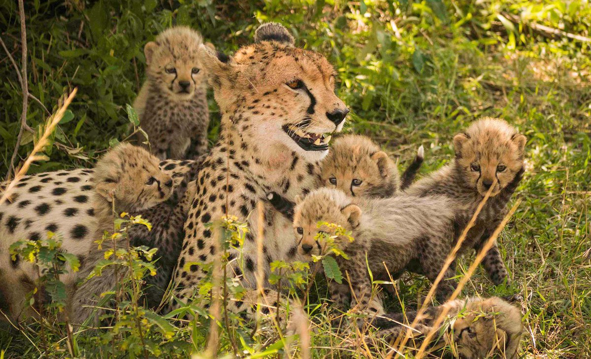Cheetah mum with cubs