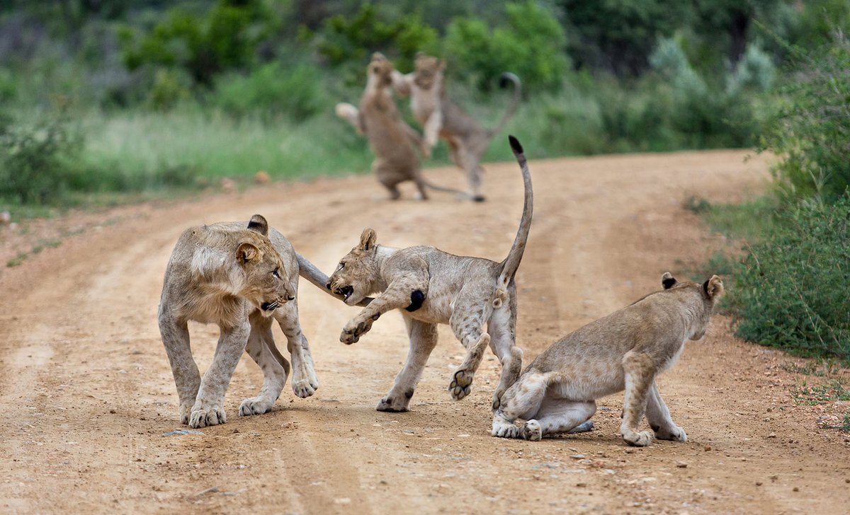 Lion cubs playing on dirt road in South Africa