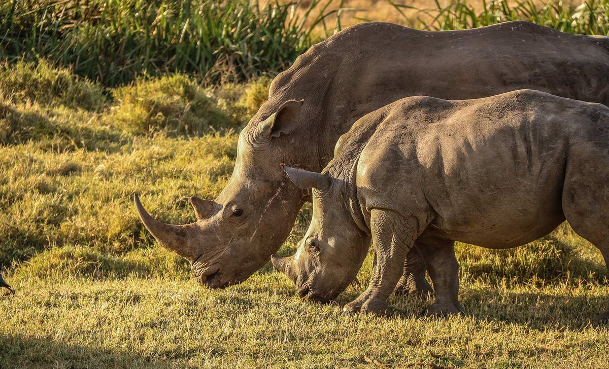 Rhino and calf Laikipia