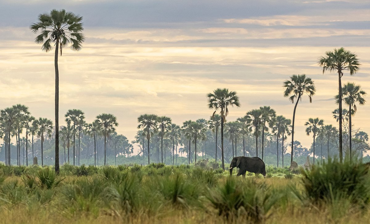 Elephant among palm trees in Moremi Game Reserve