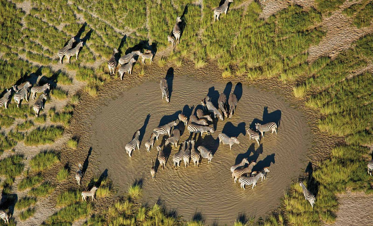 Zebra  migration, Natural Selection, Botswana.