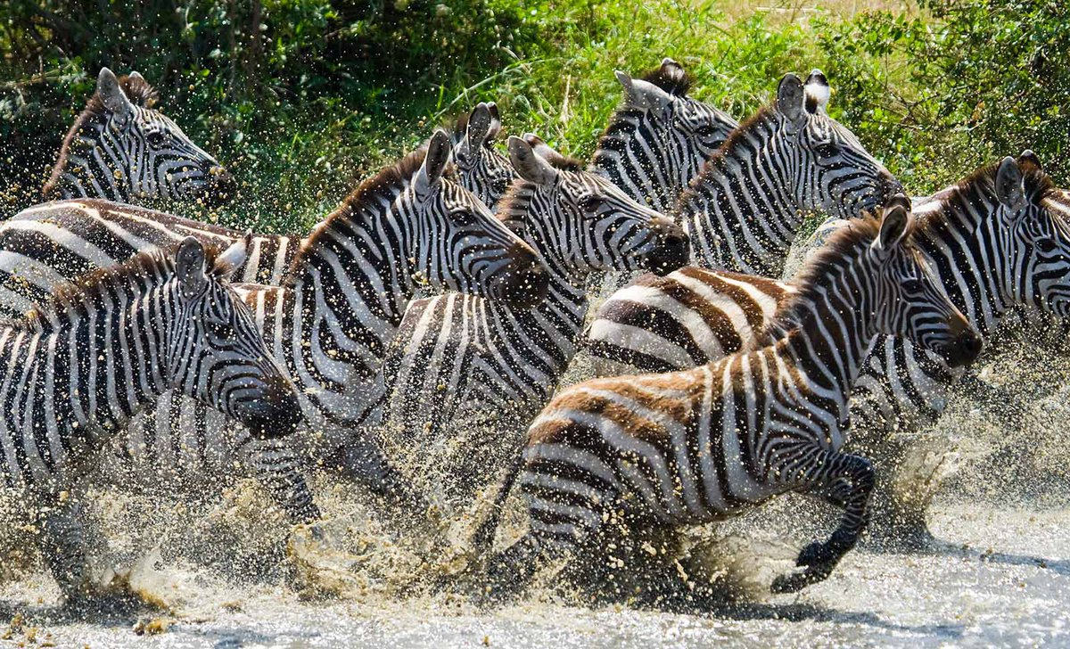 zebra herd running through water